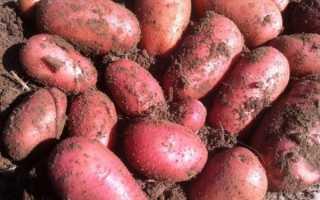 Картофель Ред Леди — описание сорта, фото, отзывы, посадка и уход