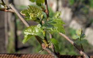 Подкормка винограда весной куриным пометом