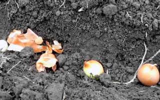 Когда сажать озимый лук на Урале?