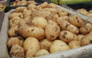 Сколько растет картошка от посева до полного созревания?