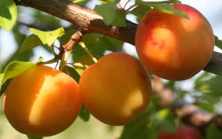 Особенности выращивания ультрараннего сорта алычи Злато скифов