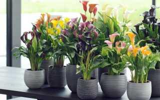 Как заставить растения каллы цвести дома и в саду: почему они плохо растут
