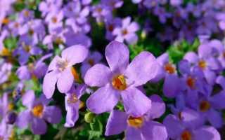 Бакопа: выращивание из семян, посадка и уход в домашних условиях, виды