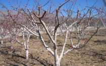 Обрезка абрикоса зимой