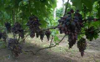 Виноград Атос: описание сорта, фото и отзывы садоводов