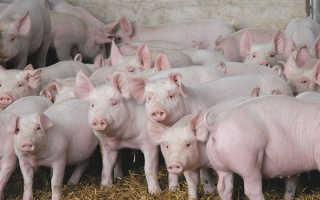 Разведение свиней как экономической активности: расчет и рентабельность свиноводства