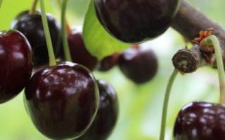 Черешня Кордия — описание сорта, фото, отзывы садоводов