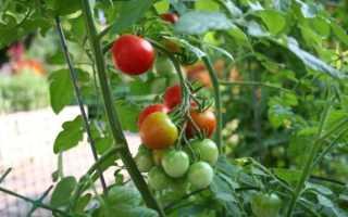 Сорта томатов, устойчивые к фитофторозу и болезням