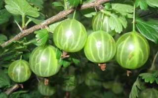 Малахитовый крыжовник: отзывы, фото, описание сорта, выращивание, размножение, урожайность, посадка и уход