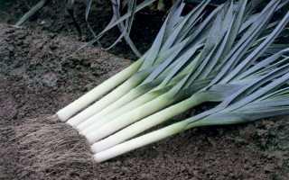Как хранить лук порей после уборки?