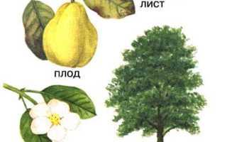 Высота дерева айвы