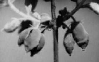 Жимолость Московская — описание сорта, отзывы и фото
