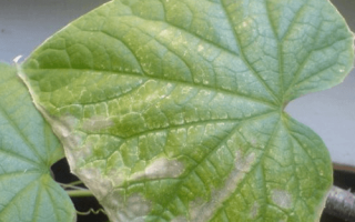 Белый налет на листьях кабачков — что делать?