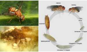 Когда и чем обрабатывать дыни от мухи?