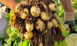 Картофель Аннушка — описание сорта, фото, отзывы, посадка и уход