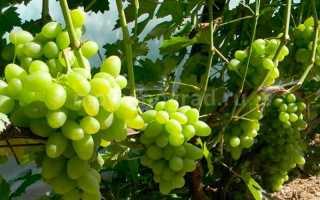 Виноград Тукай: описание сорта, фото и отзывы садоводов