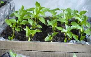 Выращивание рассады перца и уход за ней