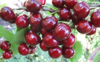 Вишня Аделина: описание сорта, морозостойкость, опылители, фото, отзывы