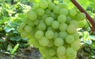 Виноград Супага: описание сорта, фото и отзывы садоводов