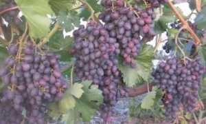 Виноград Аметистовый: описание сорта, фото и отзывы садоводов