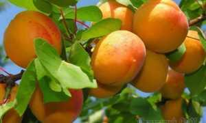 Алыча Абрикосовая — описание сорта, фото и отзывы садоводов