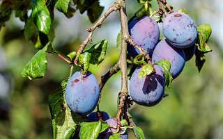 Тля на абрикосе — как бороться: советы садоводам