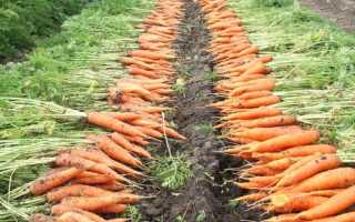 Когда убирать морковь в Подмосковье в этом году?