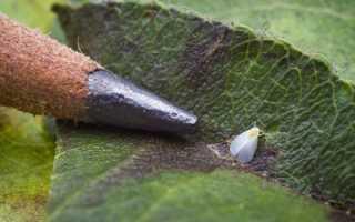 Как избавиться от белокрылки на огурцах в открытом грунте?