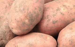 Картофель Лапоть — описание сорта, фото, отзывы, посадка и уход
