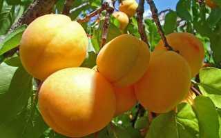 Как выбрать саженец абрикоса?