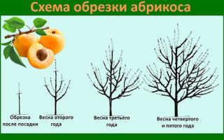 Как вырастить абрикос из косточки на даче и дома