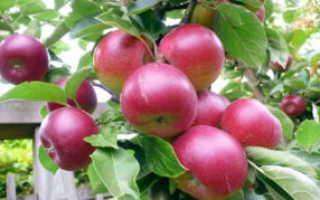 Яблоня Звездочка — описание сорта, фото, отзывы