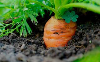 Схема посадки моркови в открытом грунте