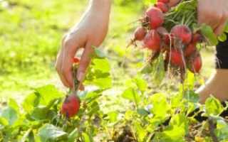 Что сажать после редиса в июле летом: можно ли сажать укроп, чеснок и т. Д