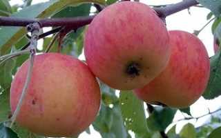 Яблоня Подарок Осени — описание сорта, фото, отзывы