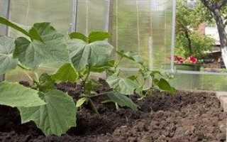 Огурцы в теплице — выращивание для начинающих
