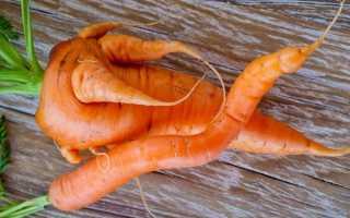 Почему морковь выросла короткая и толстая?