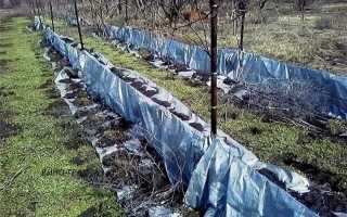 Укрывание винограда на зиму