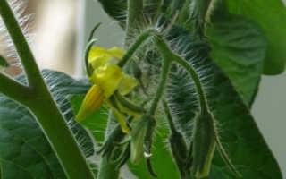 Саженцы томата цветут перед посадкой на земле, что делать?