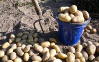Картофель Сонок: описание сорта, фото, отзывы