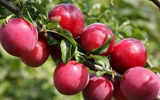 Алыча Черноплодная — описание сорта, фото и отзывы садоводов