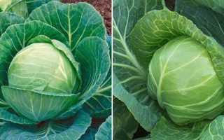 Ранние сорта белокочанной капусты: описание и фото лучших