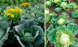 Болезни белокочанной капусты и их лечение