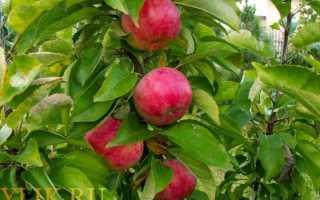 Колоновидная яблоня Чебурашка — описание сорта, фото, отзывы