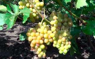 Виноград София: описание сорта, фото и отзывы садоводов