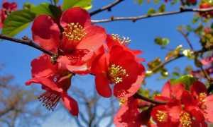 Айва Японская Фэлконет Скарлет — описание, отзывы, посадка и уход
