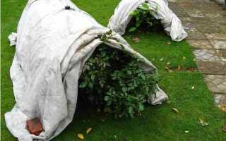 Чем укрыть плетистую розу на зиму: подготовка к зимовке, обрезка вьющихся кустарников, подкормка