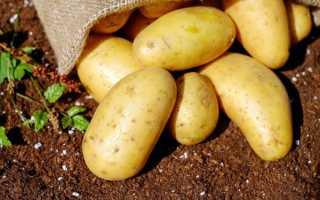 Картофель Коломбо — описание сорта, фото, отзывы, посадка и уход