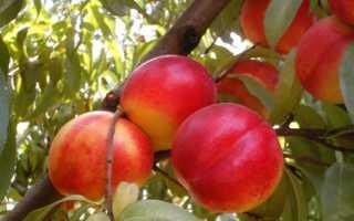 Сорта желтых персиков