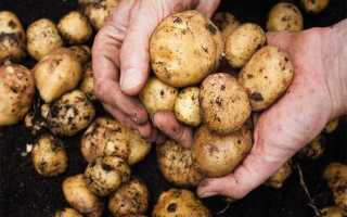 Почему картофель, зарытый на зиму в яму, не замерзает?